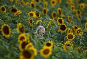 مزرعه گل آفتابگردان در ایالت کانزاس آمریکا