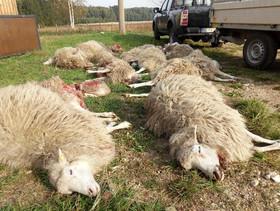 حمله گرگ به یک گله گوسفند/ آلمان