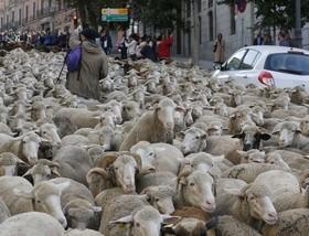 عبور گله گوسفند از شهر مادرید اسپانیا
