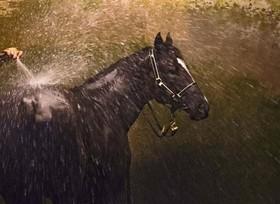 شستشوی اسب درمسابقه کالفیلد در ملبورن استرالیا