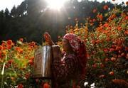 (تصاویر) چیدن گل در کاتماندو نپال ، جشن روز وحدت در ایتالیا ، گردهمایی سالانه یهودیان حسیدی در نیویورک ، بقایای هواپیمای سقوط کرده در اندونزی و ... در عکسهای خبری روز