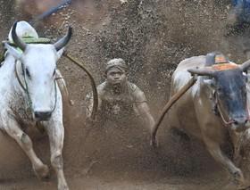 مسابقات گاوبازی در سوماترا، اندونزی