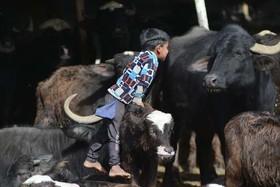 بازی یک پسر بچه با گاوها در روستایی در حومه شهر نجف عراق
