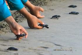 کودکان اندونزیایی در حال رها کردن بچه لاک پشتها در ساحل اقیانوس