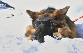 زدن عینک آفتابی به سگ برای جلوگیری از کوری دید در برف به هنگام تمرین دادن یک سگ نجات 5 ساله در آلمان