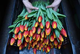 مرکز فروش گل لاله گلخانهای در روسیه