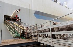 گوسفندان استرالیایی در حال بارگیری به کشتی برای صادرات به خاورمیانه