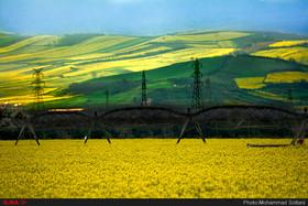 """مزارع دانه روغنی """"کلزا """" - مازندران"""