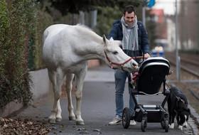ابراز مهر ماده اسب 22 ساله نژاد عرب به یک نوزاد آلمانی