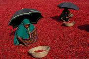 (تصاویر)خشک کردن فلفل قرمز ، تظاهرات دانشآموزان دبیرستانی در شهر آتن علیه سیاستهای اصلاح نظام آموزشی دولت یونان ، بازی توله خرس باغوحش برلین با مادرش و ... در عکسهای خبری روز
