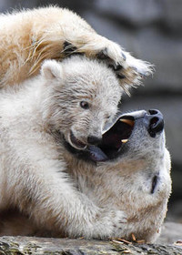 بازی توله خرس باغوحش برلین با مادرش
