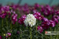 آماده سازی ۳۰۰ هزار گلدان برای استقبال از بهار