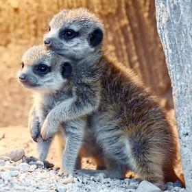 (تصاویر) دو توله میمون پوزه دراز که در باغ وحش متولد شده اند