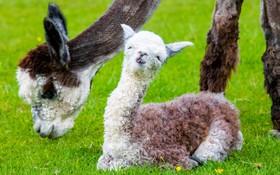 (تصاویر) مزرعه پرورش یک شتر بومی آمریکای لاتین در اسکاتلند از تولد نوزادی در این مرکز خبر دادند