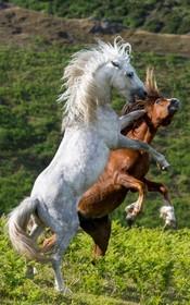 (تصاویر)  اسب های وحشی در مزرعه ای در انگلیس