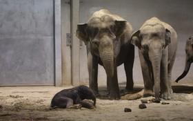 (تصاویر)  تولد توله فیل در باغ وحشی در انگلیس