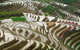 (تصاویر)  کشت برنج در چین