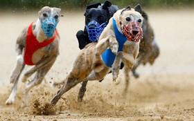 (تصاویر)  مسابقات سگ های دونده در آلمان
