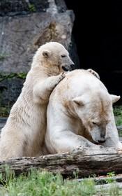 (تصاویر)توله خرس قطبی همراه مادرش در باغ وحشی در برلین