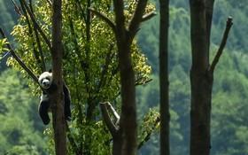 (تصاویر) پاندایی در حال استراحت در پارکی در منطقه سیچوان چین