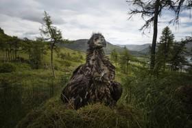 (تصاویر) جوجه عقاب دم سفید دریایی شش هفته ای  که با علامت گذاری در اسکاتلند در محل لانه