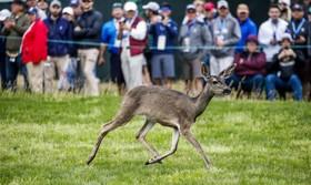 (تصاویر) توله گوزنی در میانه بازی گلف در کالیفرنیا وارد زمین بازی شده است