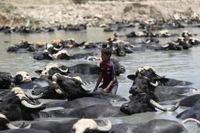 (تصاویر) نوجوانی در حال همراهی گله گاو میش در رودخانه دیاله در بغداد