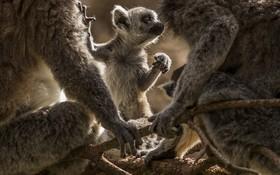 (تصاویر) بچه لامار تازه متولد شده در باغ وحشی در یوکشایر انگلیس
