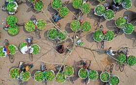 (تصاویر) تصویری از محل بازار انبه یا منگو در چاپای نواب گنج در بنگلادش که همه روزه بیش از چهار هزار تن انبه در این بازار فروخته می شود