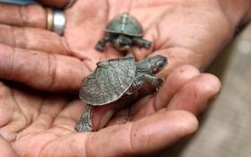 (تصاویر) حمایت از لاکپشت ها در هند و پرورش آنان برای رهاسازی در طبیعت در آسام
