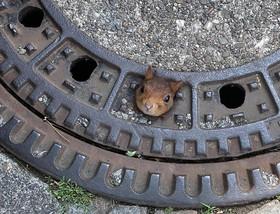 (تصاویر) سنجابی در خیابانی در دورتمونت آلمان در درپوش فاضلاب گیر کرده است