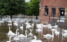 (تصاویر) قوها در خیابانی آب گرفته در روچستر انگلیس