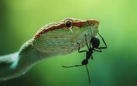 (تصاویر)مورچه ای روی بدن ماری سمی در حال حرکت است