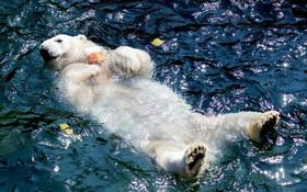 (تصاویر) خرس قطبی در باغ وحشی در آلمان یخ میوه ای را در بقل گرفته و بازی می کند