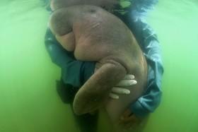 (تصاویر) داگونگ  یک پستاندار آبزی که در سواحل اقیانوس هند یافت شده از شرق آفریقا تا شمال استرالیا کشف شد. این از گاو دریایی  متمایز است.