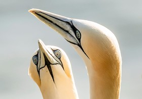 (تصاویر) غاز ماهیخوار دریای شمال