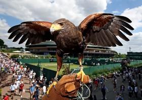 (تصاویر) عقابی که برای دورکردن کبوترها از منطقه بازی تنیس ویمبلدون مشغول کار است