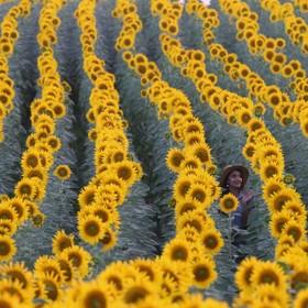 (تصاویر) مزرعه گل آفتاب گردان در ادیرنه ترکیه
