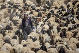 (تصاویر) منطقه شیرناک در ترکیه و چوپانی که گله گوسفندان خودرا می چراند در شمال شرق این کشور