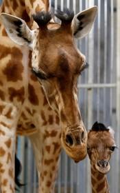 (تصاویر) توله زرافه تازه متولد شده در مراسم رومایی برای رسانه ها در باغ وحش پاریس فرانسه