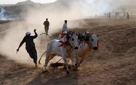 (تصاویر) مسابقات گاو دوانی کشاورزان در روستای بیلاواری در 65 کیلومتری اسلام آباد