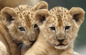 (تصاویر) دو توله شیر بربری در قفس در باغ وحشی در جمهوری چک شیرهای نژاد بری بری در شمال آفریقا و مغرب زندگی می کنند و در معرض انقراض هستند