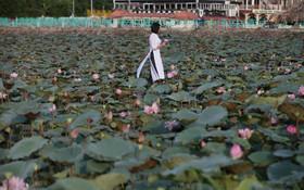 (تصاویر) شکوفه های نیلوفرآبی در هانوی ویتنام