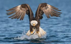 (تصاویر) عقاب سرسفید در کار شکار ماهی