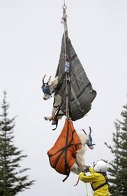 (تصاویر) انتقال بزهای کوهی از پارکی در واشنگتن آمریکا به مناطق کوهستانی