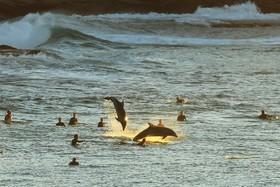 (تصاویر) دولفین ها در میان موج سواران در سیدنی استرالیا