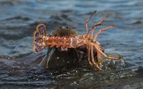 (تصاویر) سموردریایی خرچنگی را شکار کرده