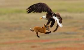 (تصاویر) تلاش عقاب سرسفید برای شکار و تلاش روباه برای جلوگیری از ربودن شکارش در تصویری دیدنی