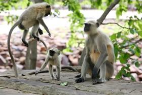 (تصاویر) بازی میمون های لانگور در پارکی در بوپال هند