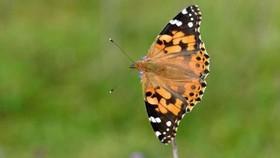 هجوم گسترده پروانههای رنگین بانو به بریتانیا